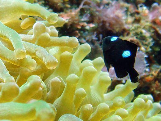 ・ハコフグ 大きいです。 ヒリゾのお魚さんはみんなサイズが立派で。 捕... 水中撮影:0809