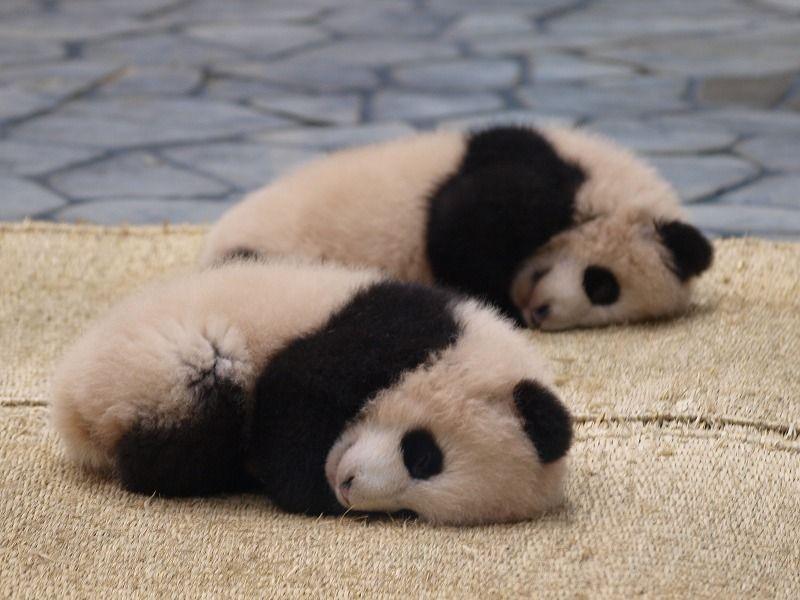 パンダ繁殖13頭 意外に知られてない 和歌山のアドベンチャーワールド