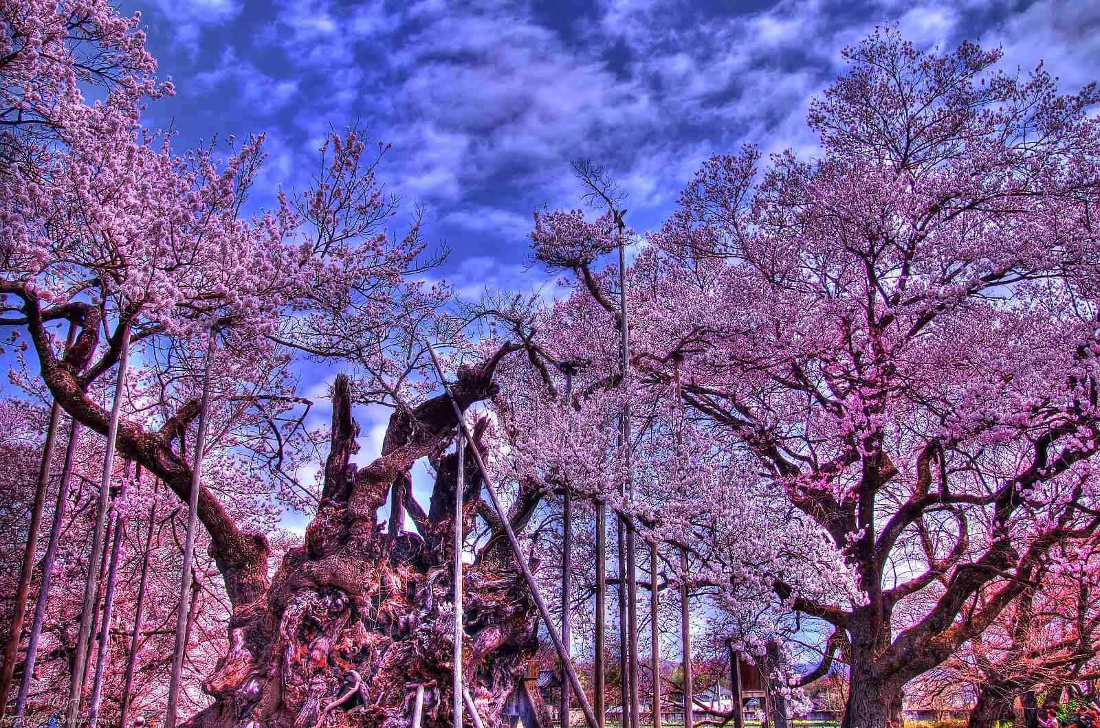 「山高神代桜」の画像検索結果