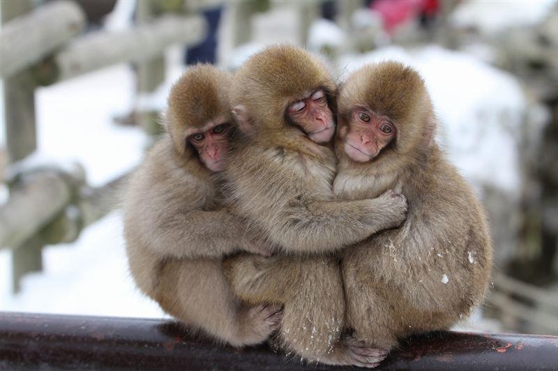 幌を下ろして四季を楽しもう : 猿 可愛い イラスト : イラスト