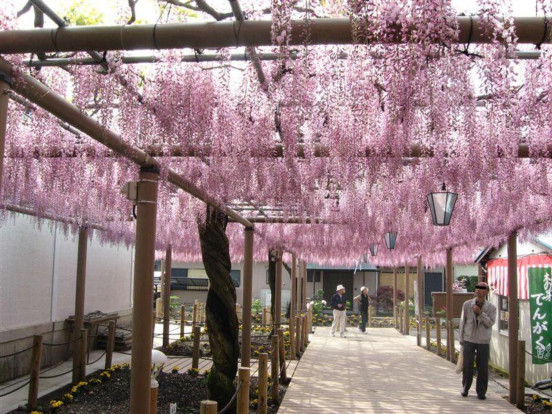 このおすすめスポットをクリップする 西山浄土宗曼陀羅寺境内の曼陀羅寺公園に、9尺フジ、紫カピタン